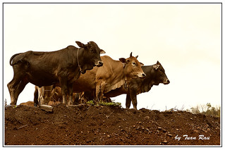 IMG_9144_The Cows