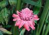 Torch Lily (IMG_2410b) (Denish C) Tags: srilanka ceylon serendip brief house bungalow garden bevisbawa bentota beauty nature landscape eccentric etlingeraelatior pink red torchlily gingerlily large