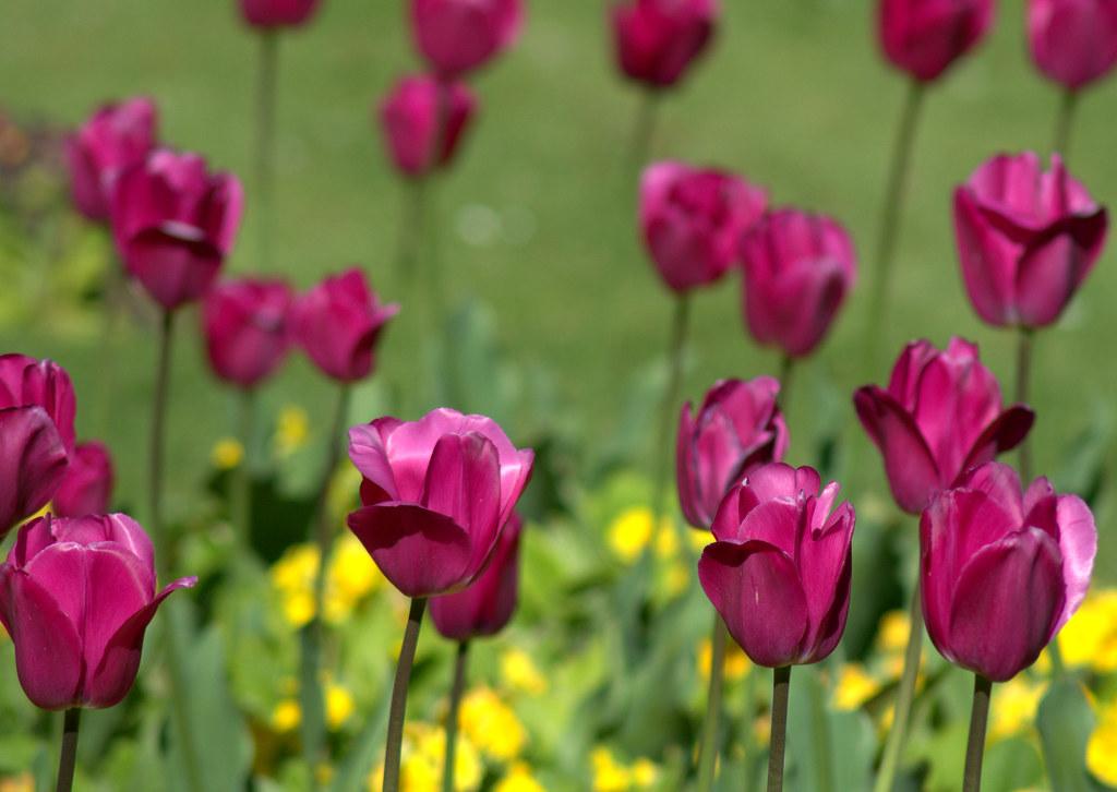 Tulip - Wikipedia