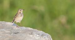 Skylark (explored) (Pat Galka) Tags: weymouthandportlanddistrict england unitedkingdom gb skylark birds