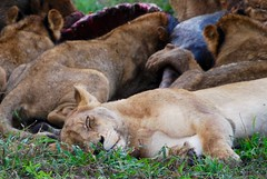 DSC_0411 (Miss Mary D) Tags: kruger national park south africa wildlife safari nature lions lion kill