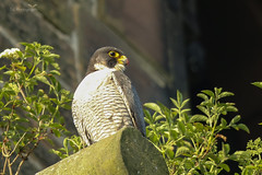 Peregrine Falcon (gloverdave33) Tags:
