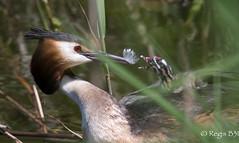 Chèque barré... (Régis B 31) Tags: aiguamolls espagne greatcrestedgrebe grèbehuppé podicepscristatus podicipédidés podicipédiformes bird oiseau explore