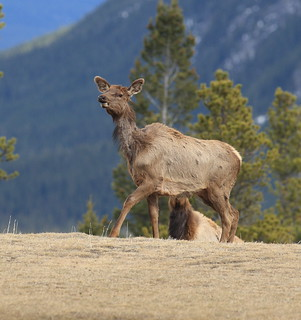 EOS01499 View large. Elk or Wapiti keeping an eye on me.