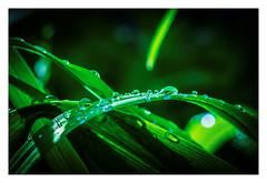After the Rain (bobbybee2000) Tags: fujifilmxt2 fujinonobjektiv regen regentropfen wassertropfen garten garden green grün weed gras nature natur waterpearls light shades outdoor rain makrofotografie macro