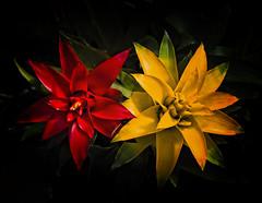 The Stars (MrBlueSky* (away for now)) Tags: succulent flower petal garden horticulture kewgardens royalbotanicgardens london plant nature colour aficionados pentax pentaxart pentaxlife pentaxk1 pentaxawards pentaxflickraward doublefantasy stilllife