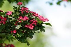 Flowering hawthorn (Jurek.P) Tags: hawthorn głóg blossom blooming flowers spring park kępapotocka warsaw warszawa poland polska jurekp sonya77