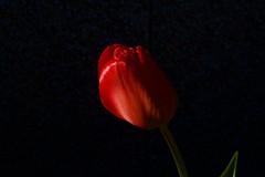 Túlípani (skolavellir12) Tags: flower red tulip iceland túlípani