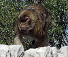 Gibraltar (asterisktom) Tags: 2017 trip201617iberiaafrica february gibraltar macaque ape monkey barbaryape