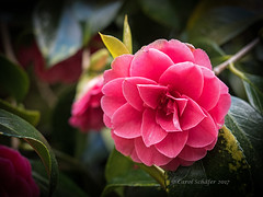 Camelia in Pencarrow Gardens (sarasocke) Tags: 117picturesfor2017 cornwall england flower camelia rot pink red pencarrow