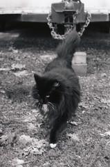 Mama Cat 2, Corvallis 2017 (Sara J. Lynch) Tags: sara j lynch asahi pentax k1000 35mm film black white city corvallis parks recreation mama cat kitty mascot