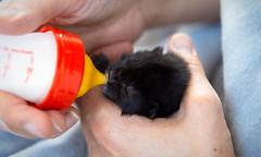 2 jours (CaroDiario) Tags: chat chaton biberon lait nourrir nourriture fragile sauvetage tétée panasonicdcgh5 lumixg425mmf17