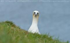 What you looking at (STAFF.PAUL) Tags: bempton cliffs rspb bird animalplanet thisphotorocks nationalgeographicwildlife sea seabird canon canon7d canonl100400 outside planetearth