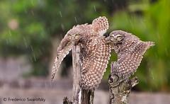 Athene cunicularia (Frederico Swarofsky) Tags: bird owl coruja