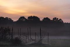 Fawn Of A New Day - 062917-055400 (Glenn Anderson.) Tags: deer sunrise clouds blackberrys fos mist dew wet morning cloudsstormssunrisesunsets fawn wildlife