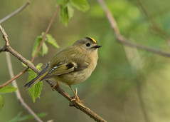 Goldcrest - Regulus regulus (Gary Faulkner's wildlife photography) Tags: goldcrest regulusregulus