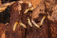 Termites (betadecay2000) Tags: termites termiten termite tree rotten wood holz baum bicentennial austral australia australien darwin northern northernterritory territory insect insects insekten insekt schaben roaches animal animals tier tiere 2017 park melbourne australian australië أستراليا austrálie αυστραλία australie استرالیا 오스트레일리아 אוסטרליה ausztrália austrália австралия ประเทศออสเตรเลีย