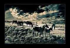 Los caballos y las nubes (mujik estepario) Tags: pentaxkx smcpentaxm28mf35 virado sierradelaventana pentaxlife pentax pentaxart paisaje caballos