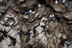 Birds (kateburgoynephotography) Tags: birds bullers buchan sea life scotland gulls canon eos cliffs rocks nests aberdeenshire
