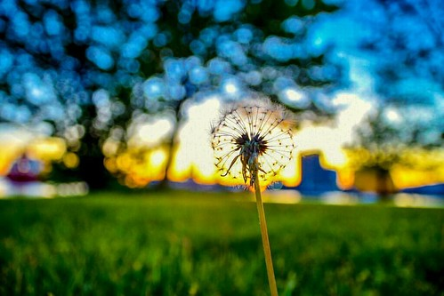 Another #dandilion at a  #park in #boston