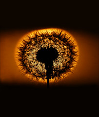 Sunset (McRusty) Tags: dandelion seed head sunset sun set setting silhouette gloaming last light day beautiful natural outdoor dell estate stratherrick highland scotland back lit orange make wish