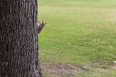 You Watchin' Me? (chrisdeanfoto) Tags: landscape nature animals tree grass wildlife squirrel lawn outdoors