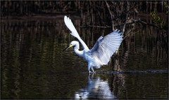 7946-  Skater Girl (canuckguyinadarkroom) Tags: birds egret nature beauty splash