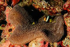 Anemone Nero e Pesci Pagliaccio di Clark. Black Anemone and Clark's Anemonfishs. (omar.flumignan) Tags: kandhoomathila malèsud southmalè maldive maldives holiday vacanza sea mare pesce fish pagliaccio clark anemone nero black clarksanemonfish canon g7xmk2 fantasea fg7xmk2 ikelite ds51