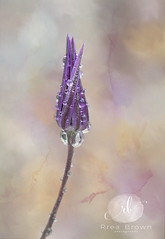 Sitting in the Rain (Rrea Brown (Photography)) Tags: flowers floral raindrops spring textures rreabrownphotography onionflower purple purpleillium rain illium