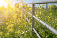 Happy Fence Friday.. (KissThePixel) Tags: fencefriday hff fence flowers flower gold yellow nature meadow spring summer landscape macro bokeh beautifulday beauty sunlight nikon nikondf sigma 50mm wildflower aperture 14 f14