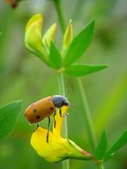 Insect (ilfotografodellapausapranzo1) Tags: insect inspiration natura nature lovesnature green yellow ngc fantasticnature