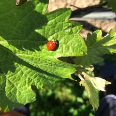 Marienkäfer ohne Punkte (barockschloss) Tags: insekt marienkäfer rot red green grün weinberg weinblatt vineyard stammheim germany