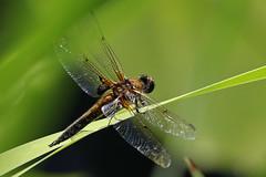 Dragonfly #5 (dr.larsbergmann) Tags: dragonflies dragonfly nature thebeautyofnature nahaufnahme natur naturemasterclass natureandnothingelse fantasticnature photography photo explored extrememacro extraordinary flickr