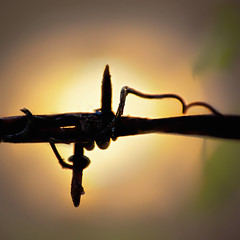 :: silhouette :: (mjcollins photography) Tags: macromondaysilhouette macro barbed wire fence barb country light backlight