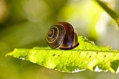 L.vdM (pixel.vdm) Tags: snail slak sunny leaf green hanging freefall