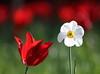 R.I.P. Steve-h (Mukumbura) Tags: steveh tulip narcissus flowers tribute memorial