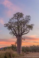 Kimberley Boab (JLoyacano) Tags: adansonia adansoniagregorii wa westernaustralia boab boabtree boabab kimberley tree