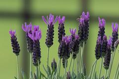 20170517-_M4A0359.jpg (Hammi81) Tags: grün spring purble nature flower blume frühling lila bokeh natur green