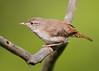 _53F7179 House Wren (~ Michaela Sagatova ~) Tags: birdphotography canonphotography housewren michaelasagatova