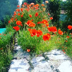 #Mohn und #Mauer. (alexebel) Tags: instagram iphone4