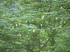 Tree,Garden of The Gods Wilderness, IL (Ranger Robb) Tags: gardenofthegodsillinois shawneenationalforest nature