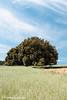 """La """"Carrasca de la Vaca"""". / The """"Cow's Holm Oak"""". (Recesvintus) Tags: lamolata alcadozo albacete españa spain castillalamancha árbolmilenario milennialtree holmoak carrasca encina carrascadelavaca landscape paisaje outdoors countryside rural campo field sown árbolessingulares recesvintus"""