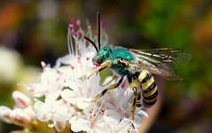 Metallic Green Sweat Bee (Agapostemon texanus) (J.Thomas.Barnes) Tags: