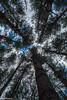 Pine Forest-2 (SMPhotos2548) Tags: pine forest upwards rutgers rutgersgardens garden