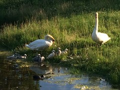 Swan family by iPhone 5S (JanJGorter) Tags: zwanen swan