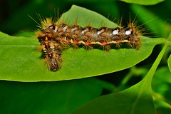 Caterpillar teeth  DSC_0300 (Me now0) Tags: caterpillar гъсеница nikond5300 никонд5300 micronikkor40mm park europe юженпарк софиябългарияевропа acronictarumicis