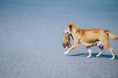 回家打屁屁|地方狗媽媽 (里卡豆) Tags: olympus epl8 olmpyus 75mm f18 ed 神之光 olmpyus75mmf18 dog 狗