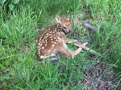 Greenwich, CT (photobug56) Tags: usa greenwich connecticut deer babydeer fawn animal wild