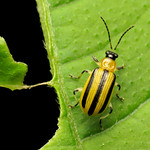 Striped Cucumber Beetle thumbnail
