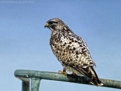 IMG_2162_s (savillent) Tags: bird hawk wildlife nature tuktoyaktuk northwest territories arctic north blue hunter watcher photography spring june 2017